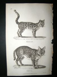 Shaw C1810 Antique Print. Margay & Serval